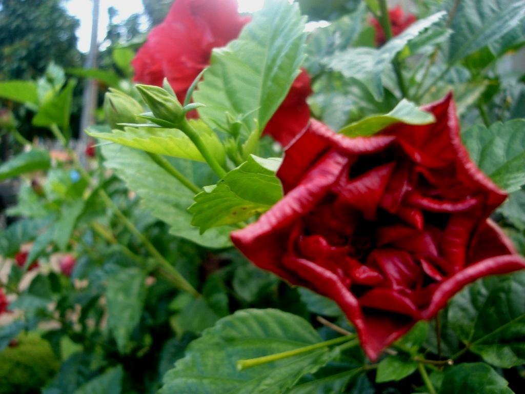 hibiscus vermelho dobrado