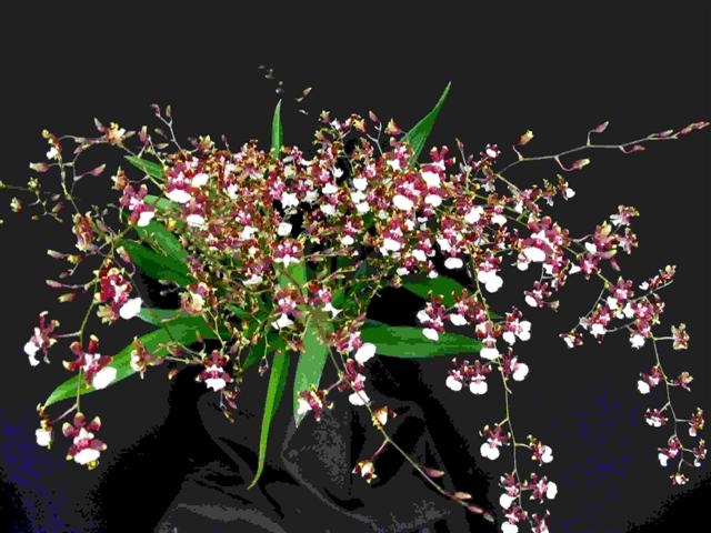 hibrido-oncidium- (Small)