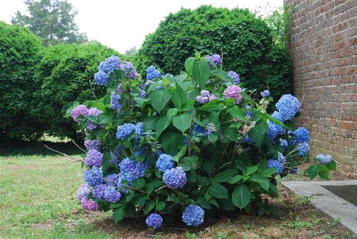 hortênsia azul