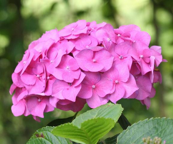 Podas plantasonya o seu blog sobre cultivo de plantas - Hortensias cuidados poda ...