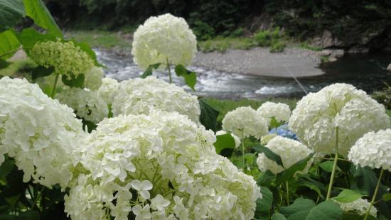 hortencia branca
