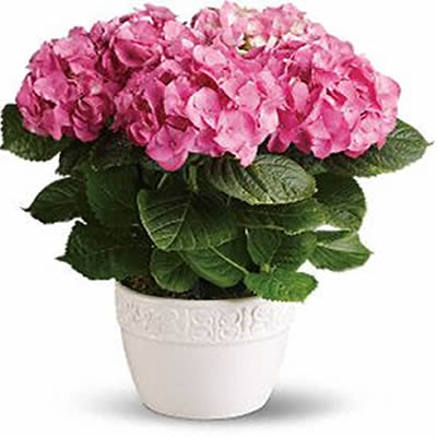 hortencia-rosa