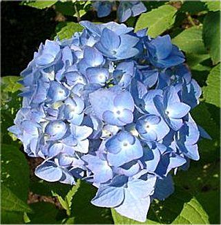 hortensia-azul