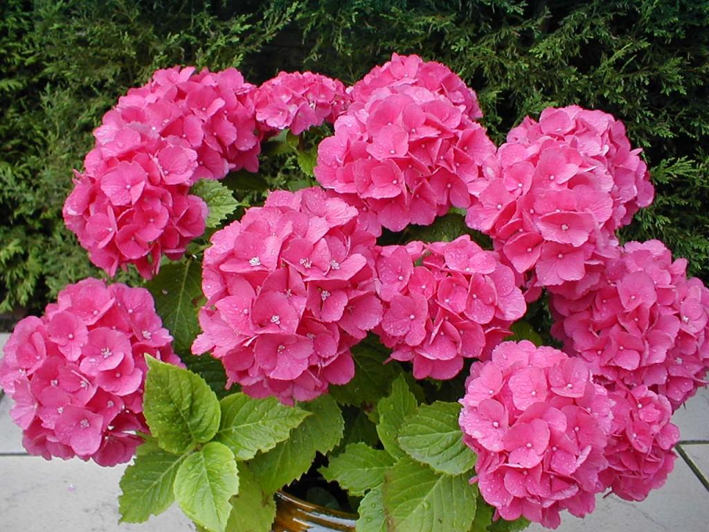 hortensia-rosa-1024x768