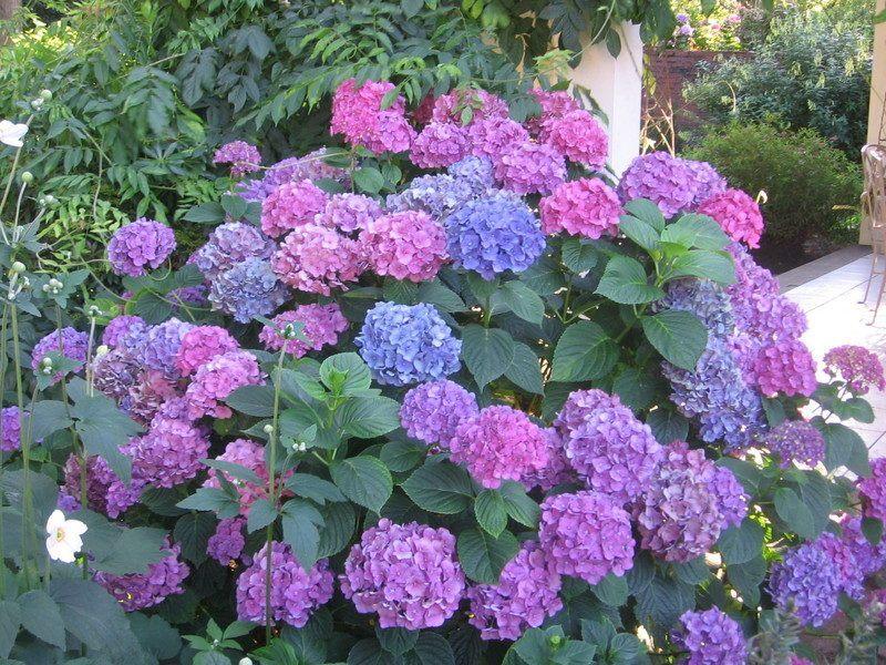 hortensias-de-jardim