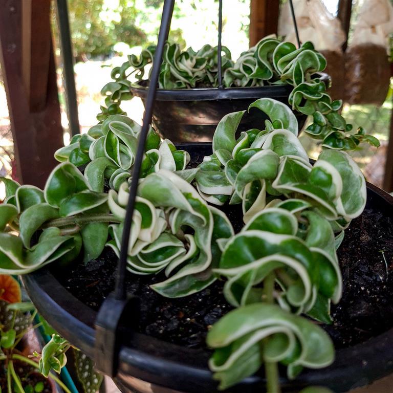 hoya variegata