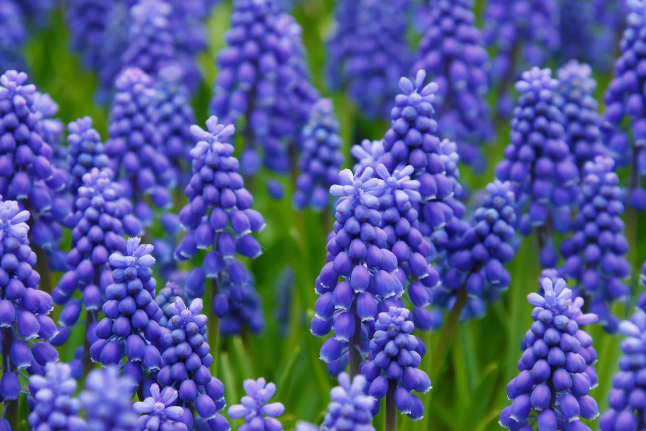 hyacinths-Tz