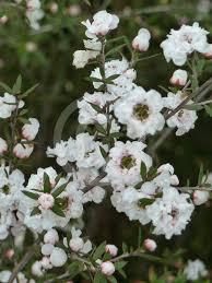 Leptospermum scoparium_YY