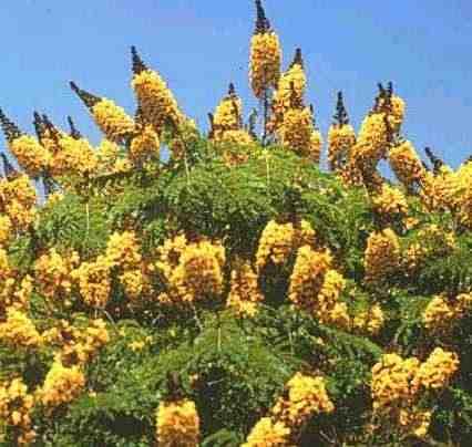 Sibipiruma caesalpinia peltophoroides plantasonya - Caesalpinia gilliesii cultivo ...