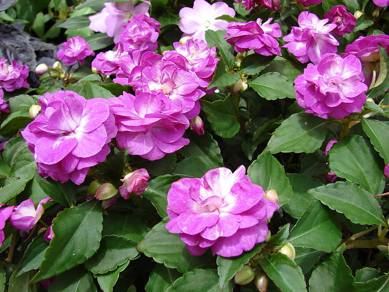 impatiens_walleriana_