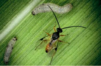 inseto