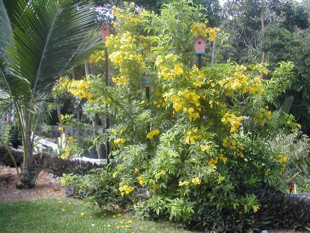 ipê-de-jardim