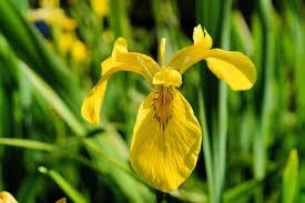 iris amarela