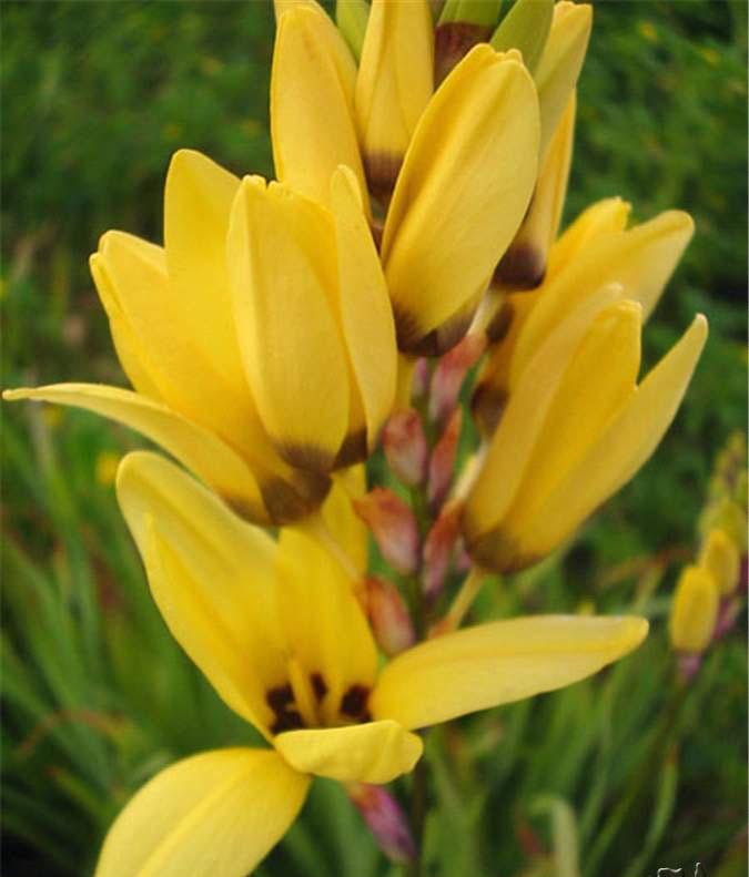 ixia maculata2