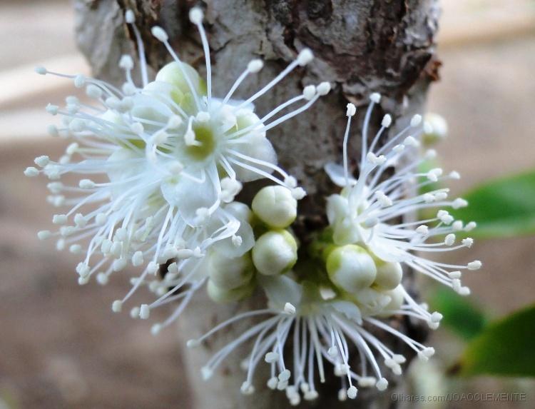 jabuticaba flor