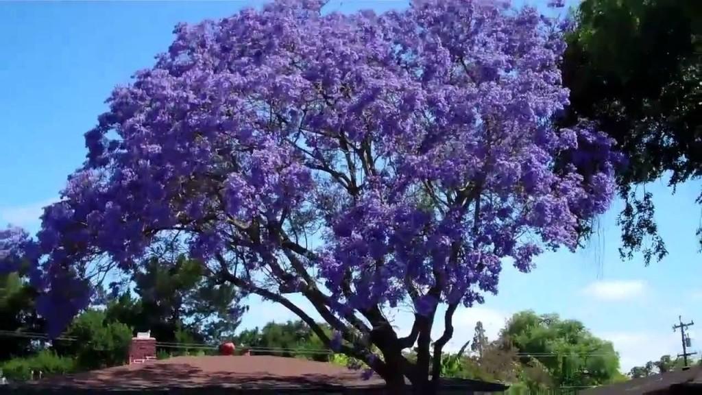 jacaranda-cuspidifolia-3