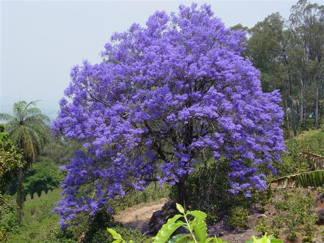 jacaranda-mimoso