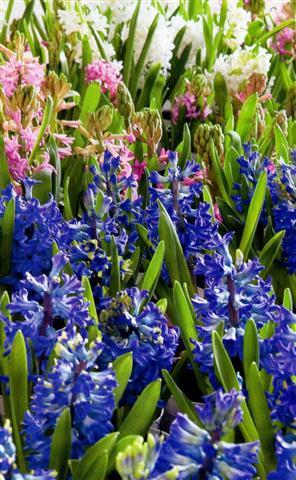 Jacinto exuberante e perfumado plantasonya o seu - Jacinto planta cuidados ...