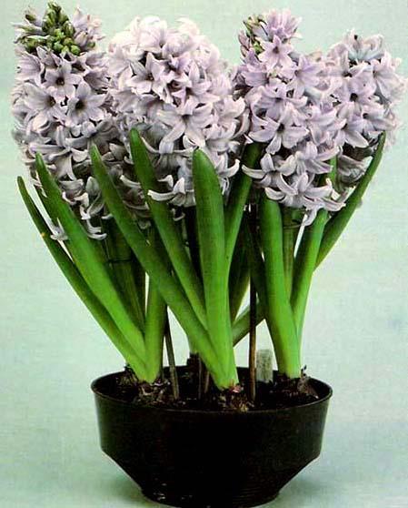 Cuidados com os jacintos plantasonya o seu blog sobre - Jacinto planta cuidados ...