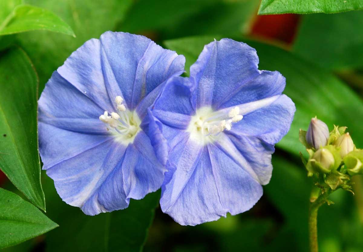jacquemontia_flower