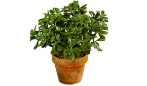 jade-crassula-argentea