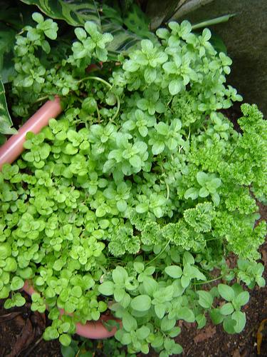 Jardim de Ervas  PlantaSonya  O seu blog sobre cultivo de plantas e