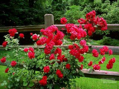 jardim roseiras