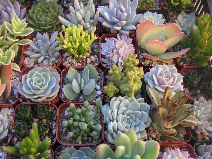 jardin-de-suculentas