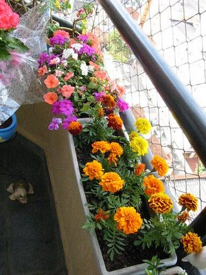 jardineiras-tagetes