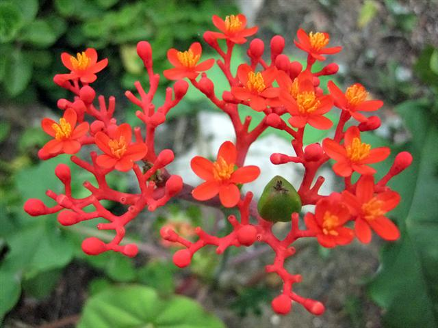 jatropha-podagrica (Small)