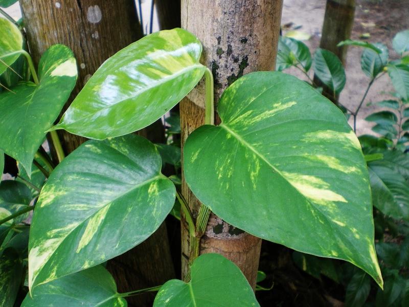 jiboia (Epipremnum pinnatum)