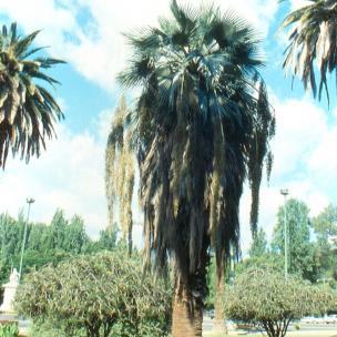 jubaea_chilensis