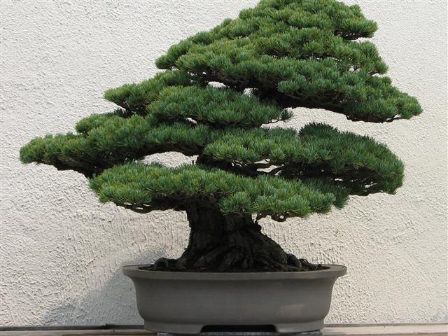junípero japonês