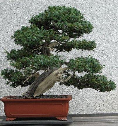 juniperus-rigida