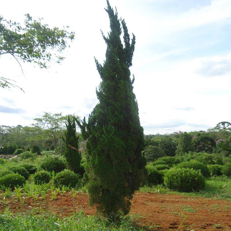 juniperus_chinensis_torulosa