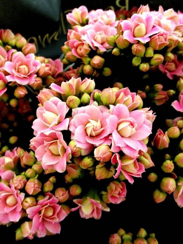 kalanchoe-blossfeldiana-rosa