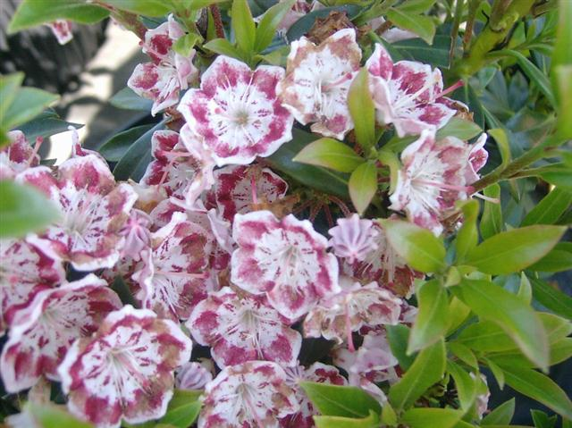 kalmia latifolia (Small)