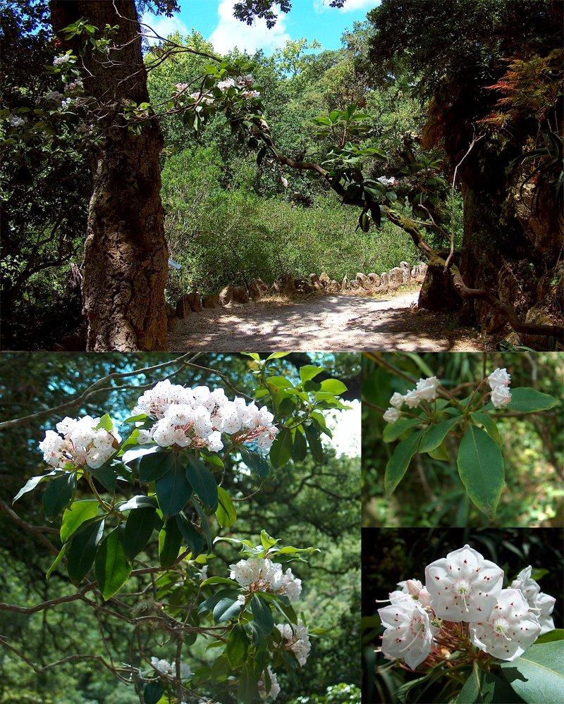 kalmia-latifolia