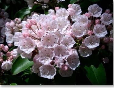 kalmia_latifolia