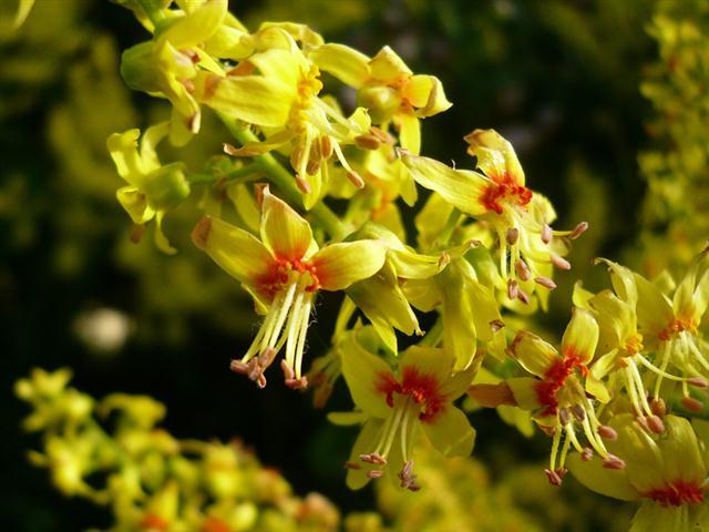 koelreuteria paniculata (Small)