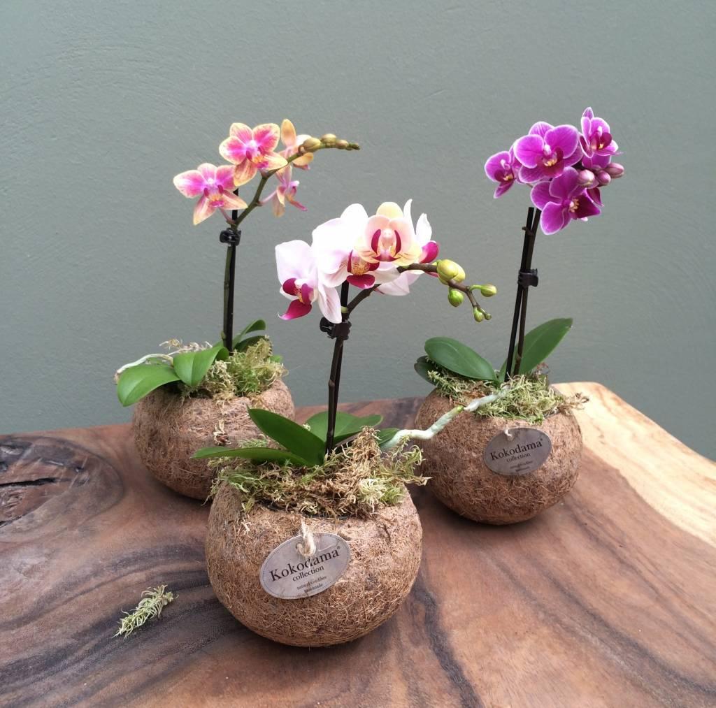 kokedama-orchidea-phalaenopsis-mini