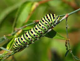 lagarta da borboleta cauda-de-andorinha