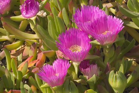 lampranthus-spectabilis_