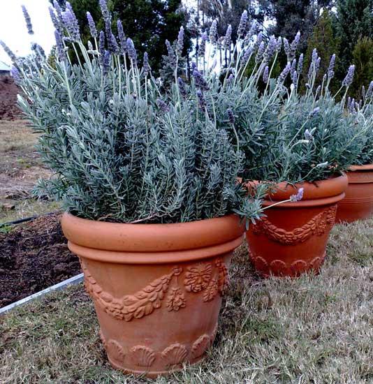 Caracter sticas e cultivo da lavanda plantasonya o seu for Lavanda cultivo o cuidados