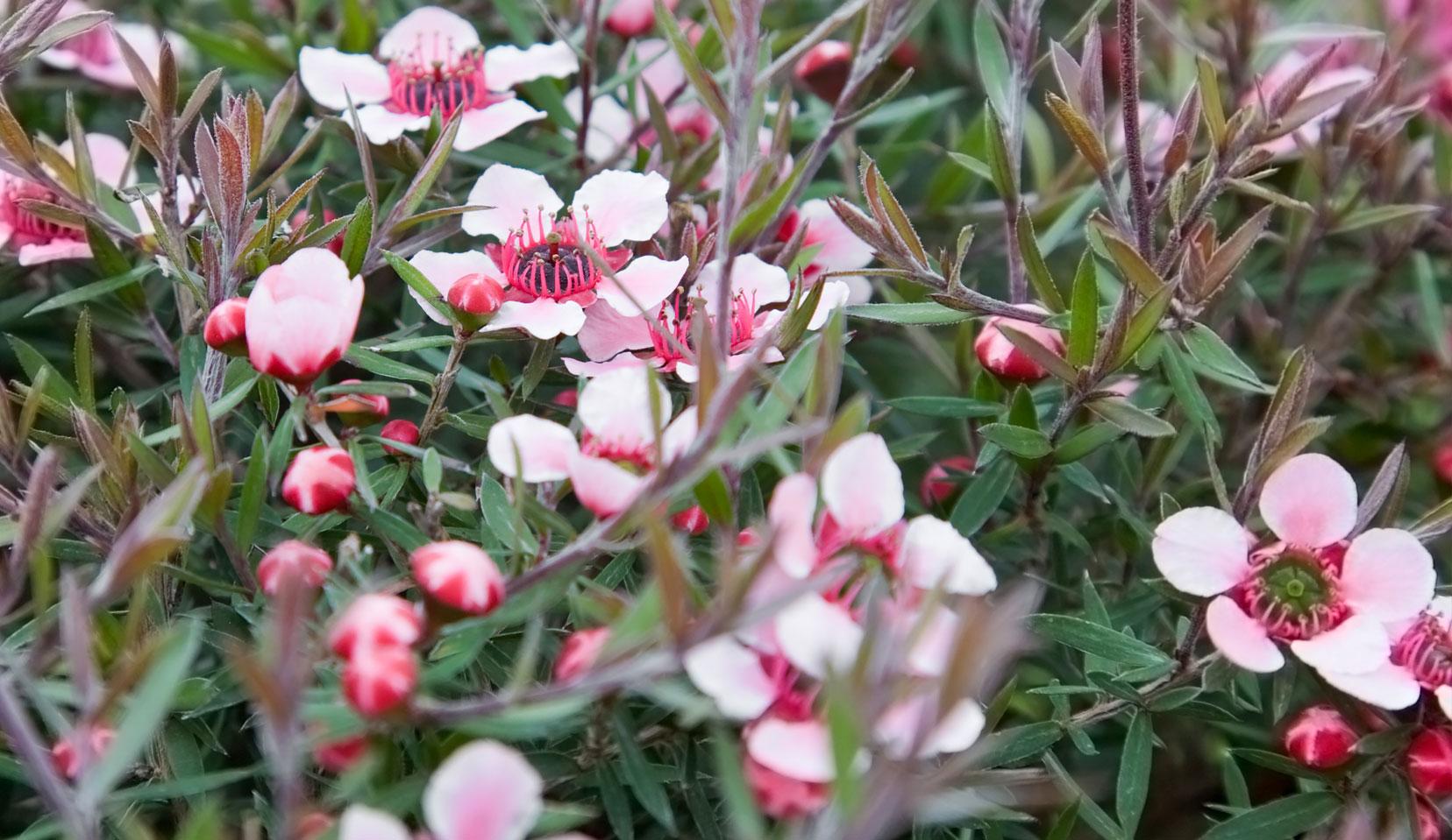 leptospermum-scoparium-j