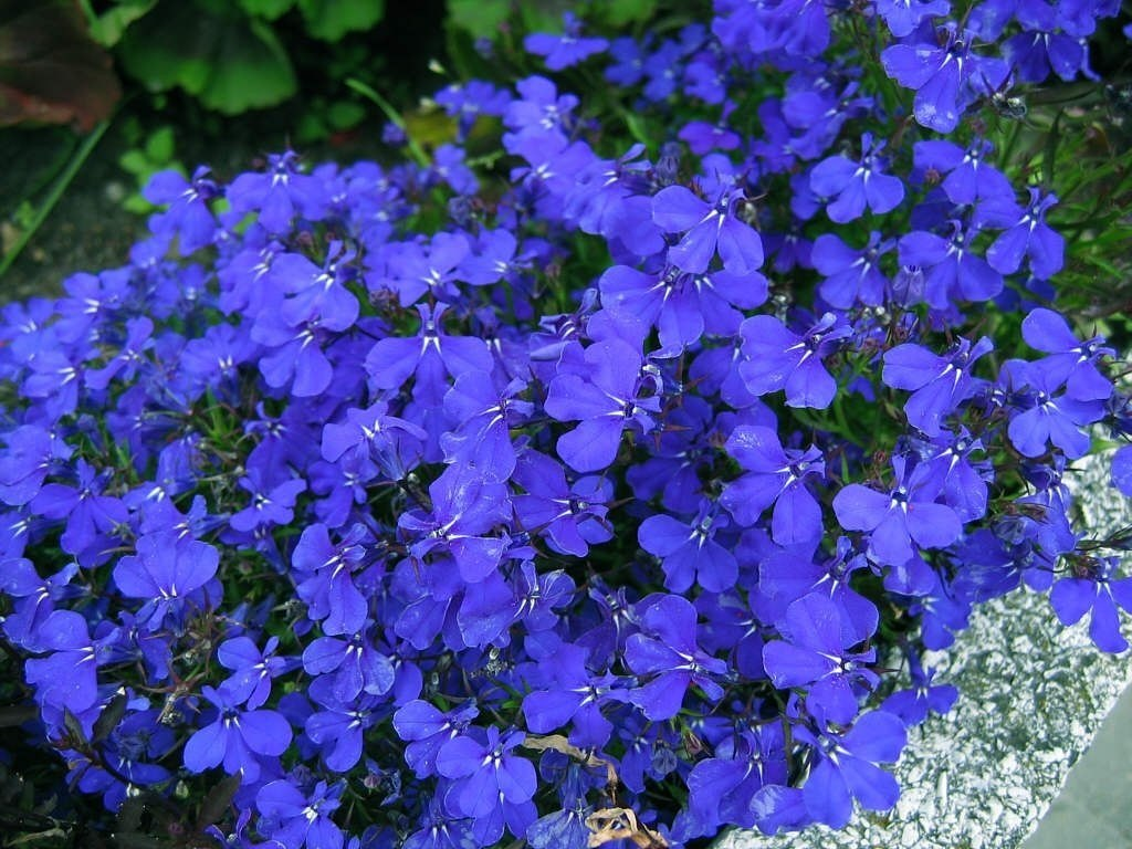 lobélia-azul