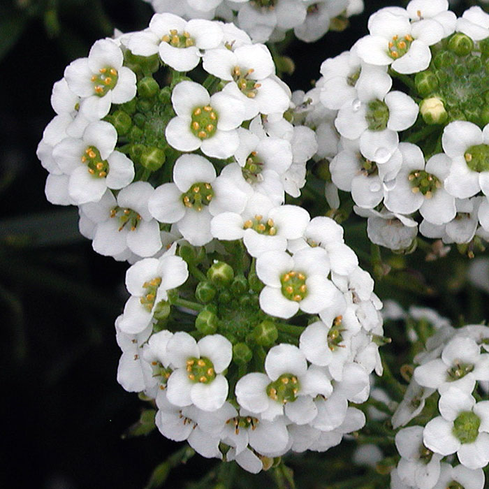 lobularia_maritima_sweet_alison_close_large