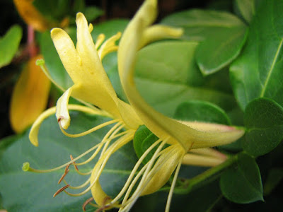lonicera japonica Madressilva