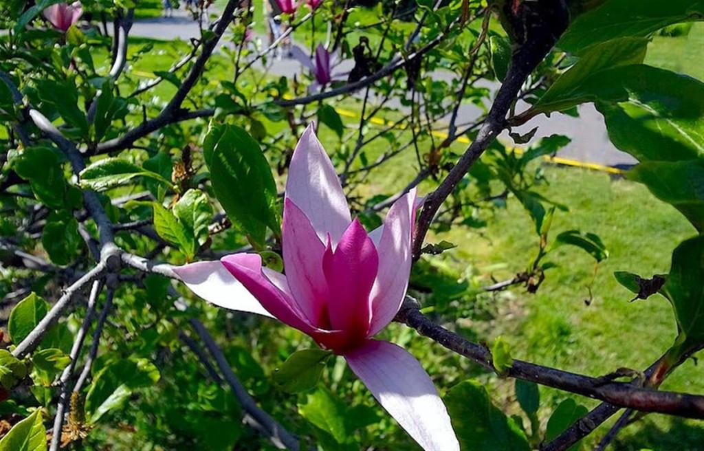 magnolia-liliiflora