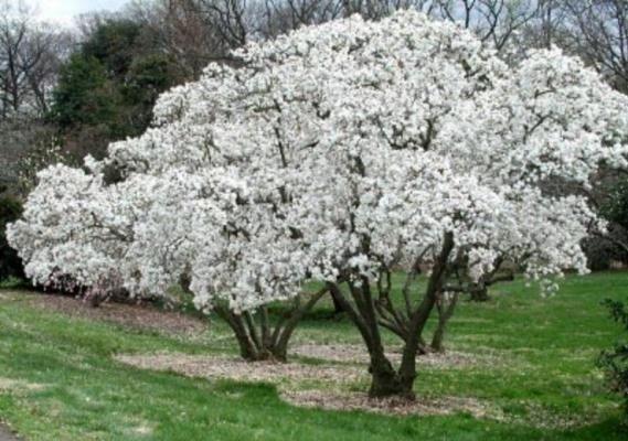 magnoliabranca